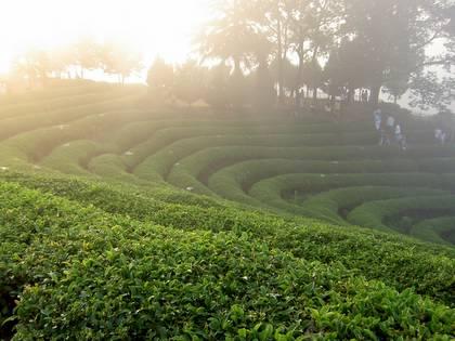 Bosong Green Tea Plantation