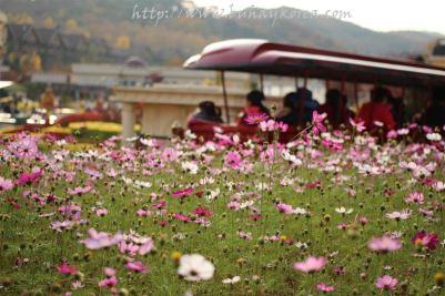 Cosmos flowers in full bloom