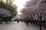 Yeouido Spring Flower Festival 2013