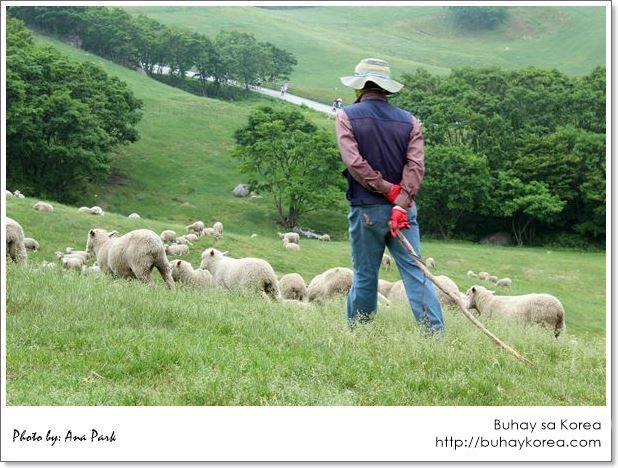 Whisking the sheep away from the crowd ~