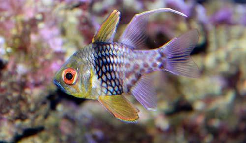 Ikan Pajama Cardinalfish