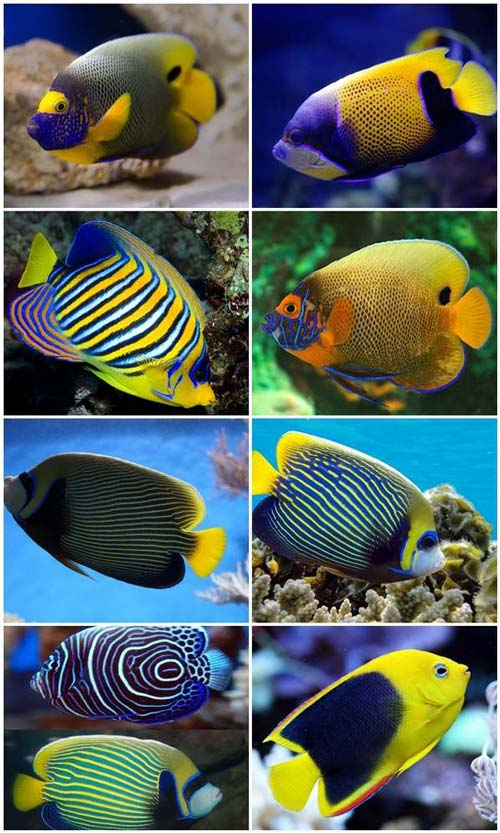Ikan Angelfish