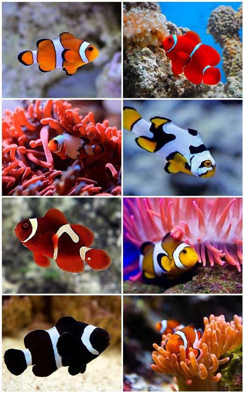 Jenis Ikan Clown fish akuarium air asin