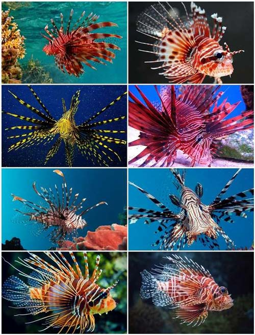 Ikan Lion Fish