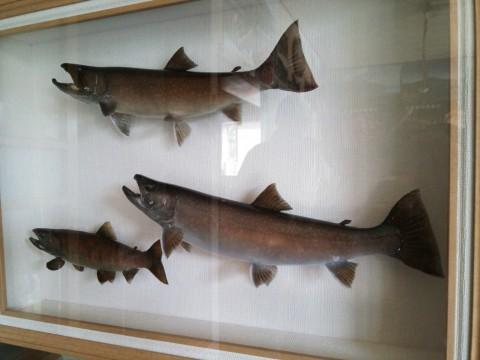 管理棟に飾られていた岩魚の剥製