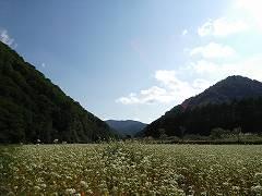 檜枝岐村大根卸の蕎麦畑