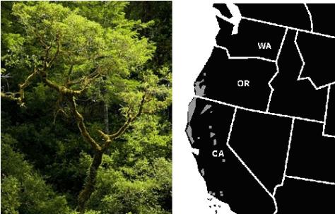 Tanoak Tree and the coastal ranges where it grows image via Kit Tosello