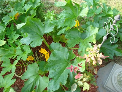citizen farmer :: a squash plant and its blooms provide decorative greens and colors in my planned kitchen garden