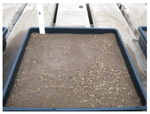 Day 1 Grass Seed in a Tray