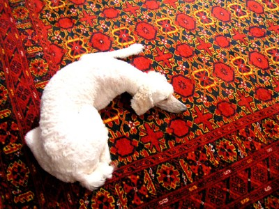 White Dog Laying on Red Wool Carpet