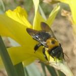 wood damaging pest Eastern Carpenter Bee