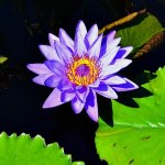 Water lily, tropical blue