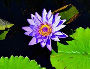 Water lily, tropical blue, by Robert Pavlis