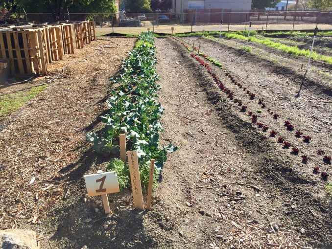 A row of leafy greens in the GREEN TEAM farm. Photo by Isaac Riddle.