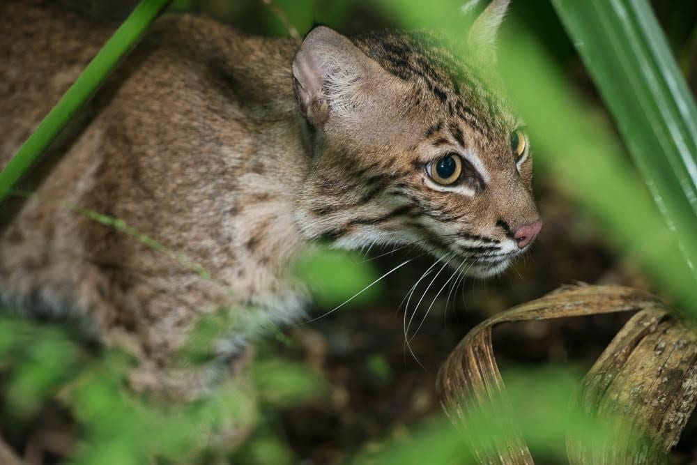 A male one year-old bobcat shortly after its release at Cypress Island Preserve. A safe place for this rehabilitated animal.