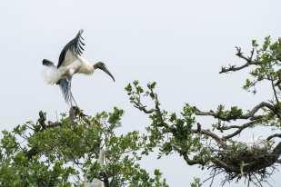 Wood Stork Saint Augustine, FL 2016 ©Judy Lampert