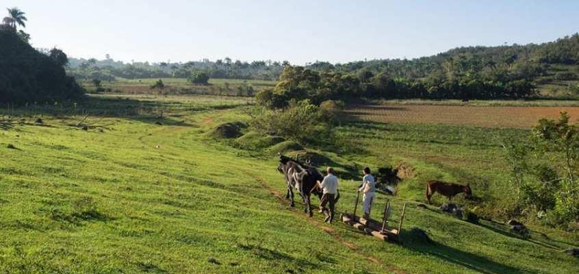Lorrie Dallek: Cuban Tobacco Farming
