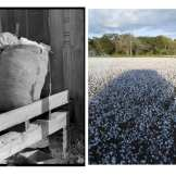 Left: Untitled photo possibly related to: sacks of cotton on wagehand porch, Knowlton Plantation, Mississippi Delta, Mississippi. October 1939. © Marion Post Wolcott/Courtesy Library Of Congress. Right: Cotton picking in Como, October 2011.