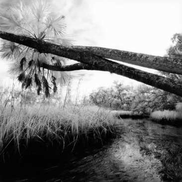 3 Palm Trees, Blue Run, Chassahowitzka NWR, FL