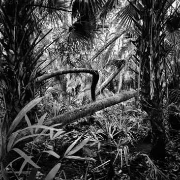 Palms and Fallen Trees, Chassahowitzka NWR, FL