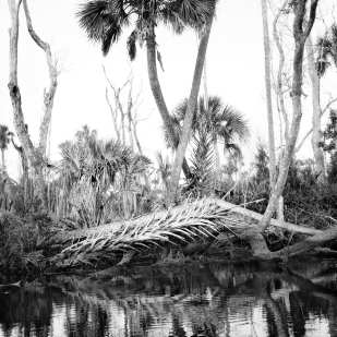 Remains of Palm Tree, Blue Run