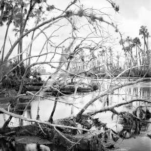Dead Cedar Tree Draped with Airplants and Algae