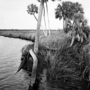 Dead and Fallen Palms at Mouth of Chassahowitzka River