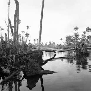 Fallen Palms, Stumps & Dead Hardwood Trees, Upper Crawford Creek