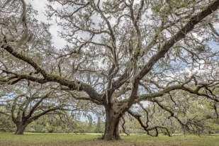 Cumberland Oaks ©Lynne Buchanan