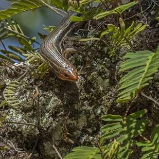 Lizard ©Lynne Buchanan