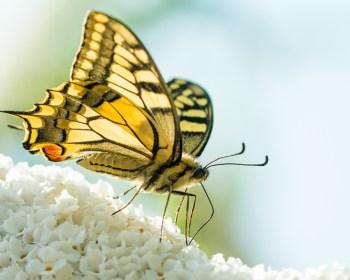 De koninginnenpage op de vlinderstruik in de tuin.