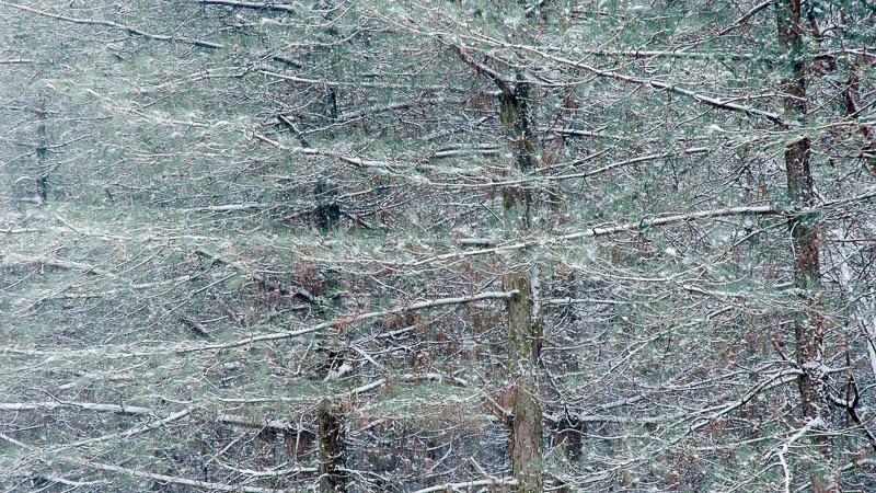 Bij het determineren van naaldbomen zijn er zoveel verschillende kenmerken waar je op moet letten dat je door de bomen het bos niet meer ziet.