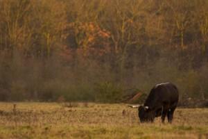 Lees meer over het artikel Op zoek naar grote grazers in de Maashorst
