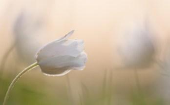 De bosanemoon is ieder jaar één van de eerste bloemen die bloeit.