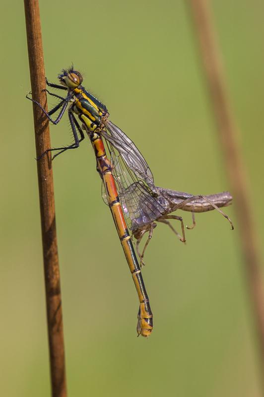 Deze vuurjuffer is tijdens het uitsluipen verstikt geraakt in haar larvenhuidje en zal nooit kunnen vliegen.