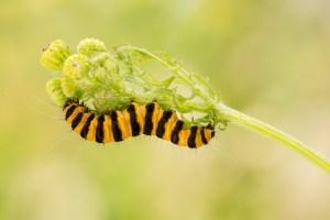 Read more about the article Over de zebrarups en de sint-jacobsvlinder