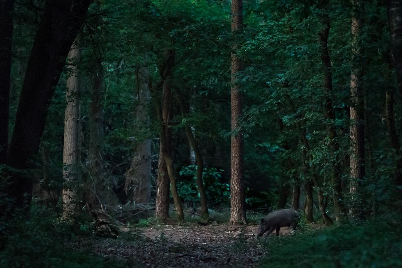 Een foto van een wild zwijn genomen vanachter een wildscherm bij het Speulderbos.