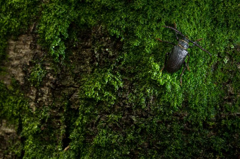 De lederboktor. Een zeldzame soort die in het Speulderbos een thuis heeft gevonden.