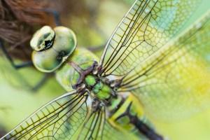 Read more about the article Libellen fotograferen, zo doe je dat.