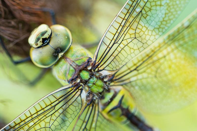 Libellen hebben hele goede ogen en laten zich niet heel gemakkelijk benaderen.
