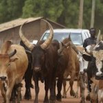 Cows Invade Akure Airport runway, FAAN releases Statement.
