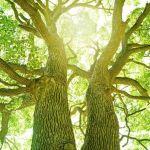 KALAYAAN TREE of Malolos: The Legendary 125 Year-Old Tree