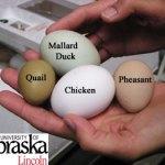 Разликата в размерите на яйцата на пъдпъдък (quail), патица (duck), кокошка(chicken) и фазан (pheasant).