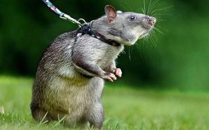 Плъхът е среден по размер гризач, с дълга и здрава опашка, черни топчести очи и къса козинка. Основните видове плъхове са канализационен плъх (сив плъх) и покривен плъх (черен плъх). Цветът на плъха не оказва влияние на неговото поведение, когато е закачен на каишка.