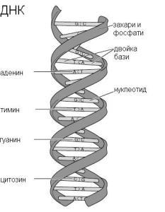 Схема на двойната верига на ДНК, която носи генетичните инструкции за биологическото развитие на всички клетъчни форми на живот. ДНК се състои от две нишки с връзки помежду им, които могат да се разделят подобно на цип.