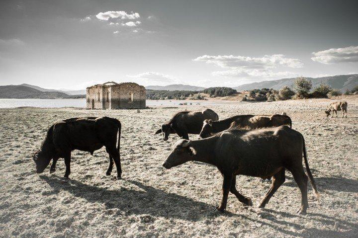 Добитък на овчарите от околните села