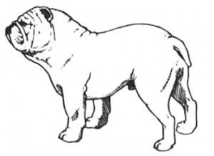 Aspecto General Bulldog Ingles