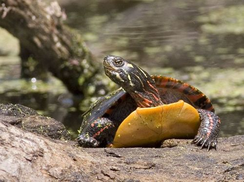 Painted turtles are cute, and grateful to be rescued