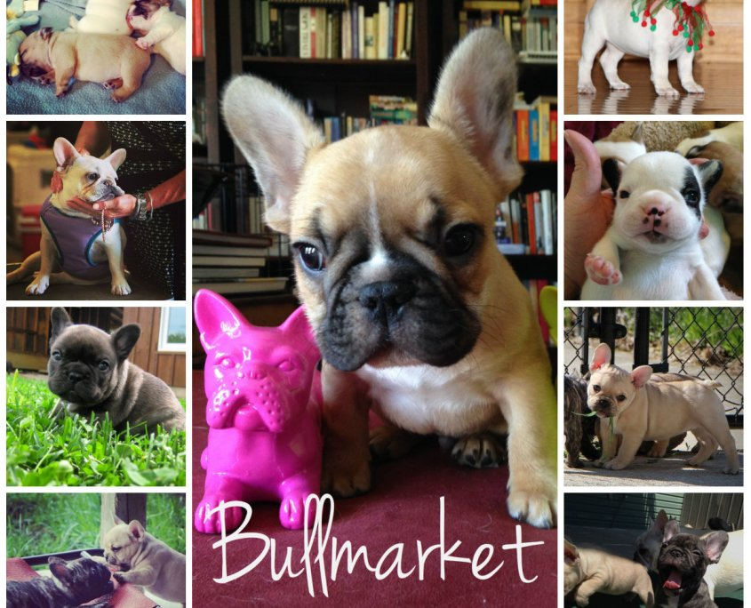 collage-french-bulldog-puppies