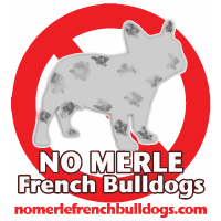 No Merle French Bulldogs